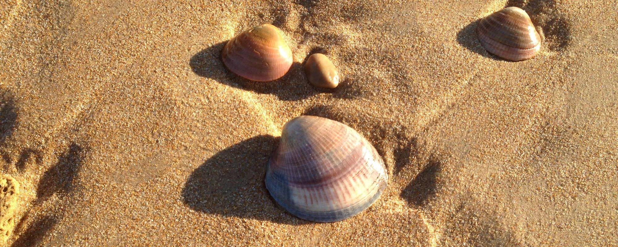 Shell on the sand of the beach- Accommodation Flamenco Villas in Conil